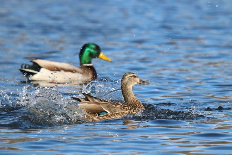 Landing Mallard Ducks. A pair of mallard mallard ducks splashing down as they land on a pond royalty free stock photos