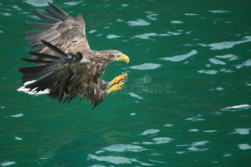 Landing on the pray. Sea eagle landing on a fish Lofoten Islands Norwegian polar circle royalty free stock photo
