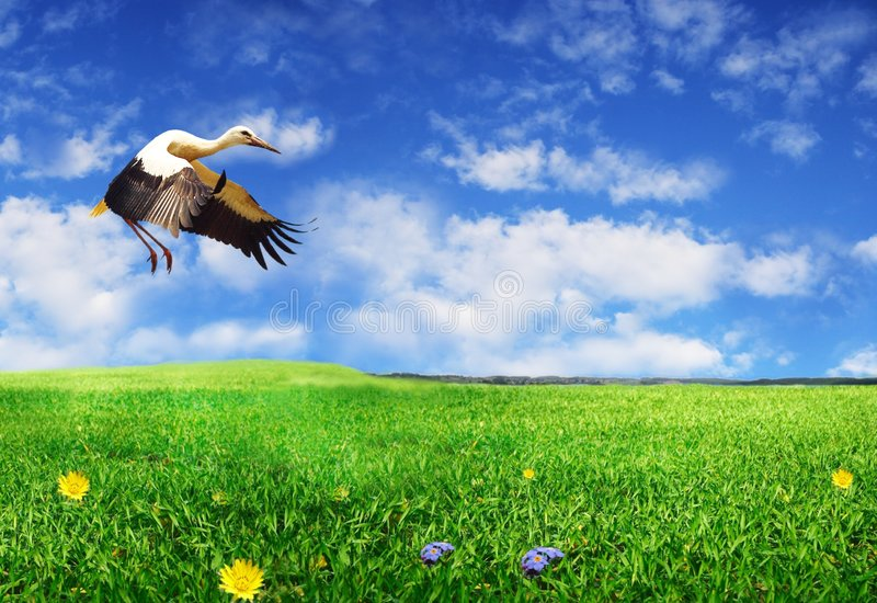 Landing stork. The photo of landing stork on meadow on background of sky royalty free stock photography