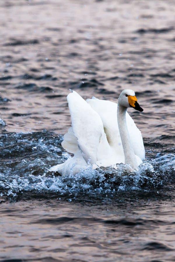 Free Landing Swan In YanDunJiao Gulf Stock Photography - 38219372