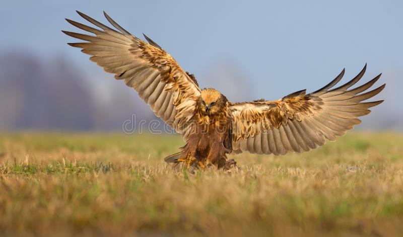 Landing of Western Marsh Harrier on the ground with full wingspan in the early light stock photo