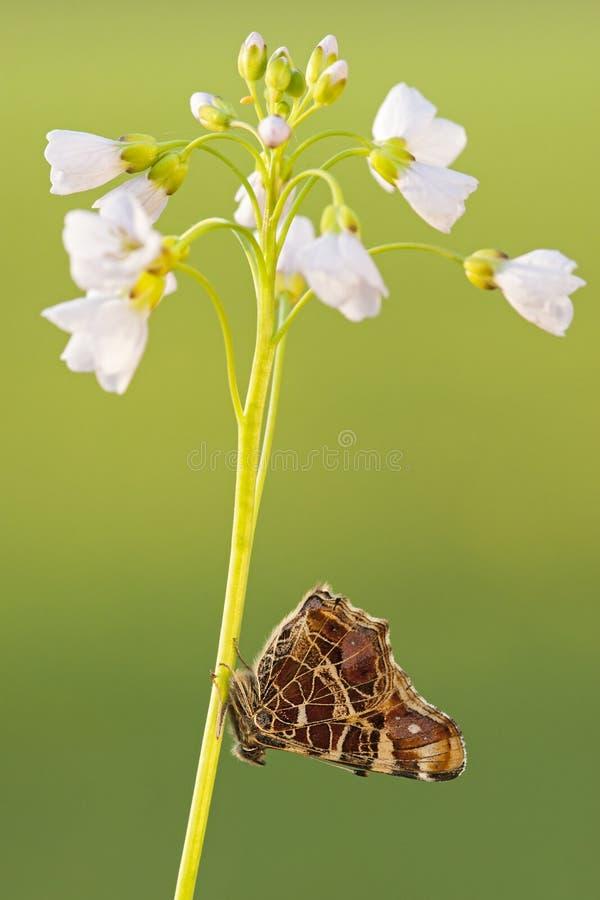 Landkaartje, Kaartvlinder, Araschnia-levanalevana stock afbeelding
