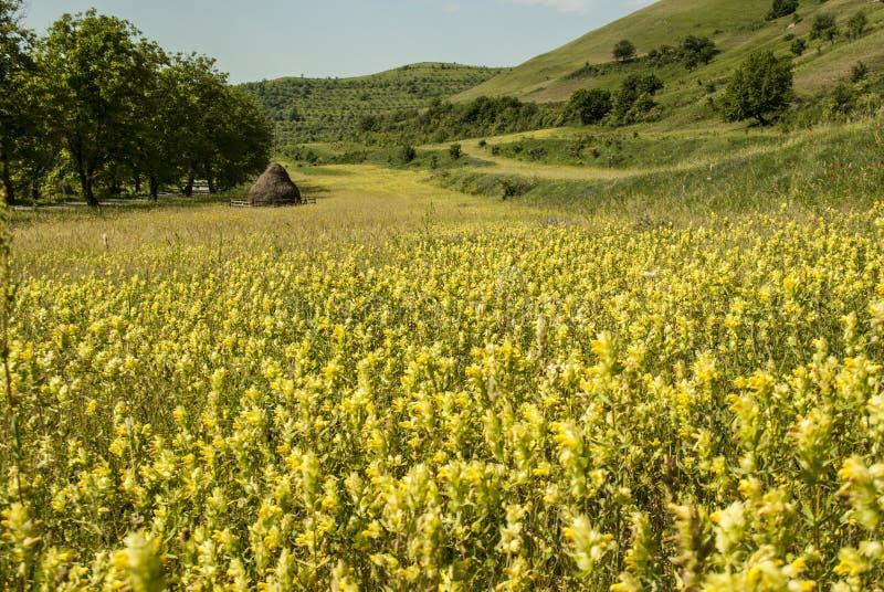 Landlandschaft mit gelbem Feld von Blumen lizenzfreie stockfotos