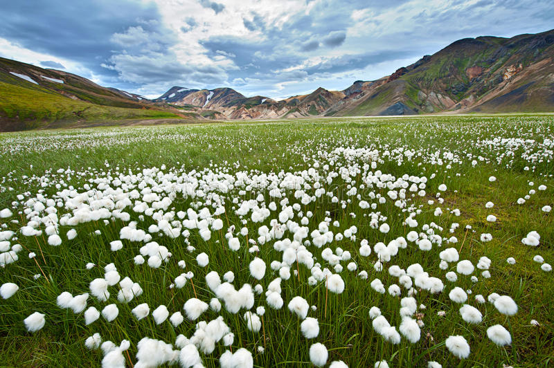 Landmannalaugar. Field of cotton grass in a valley surrounded by rhyolite mountains at Landmannalaugar, Iceland royalty free stock image