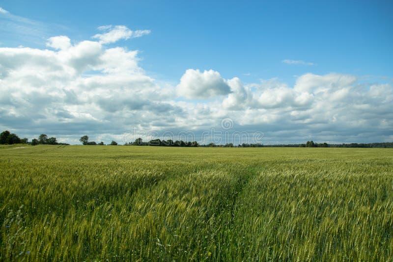 Landnatur mit großem Getreidefeld morgens stockfoto