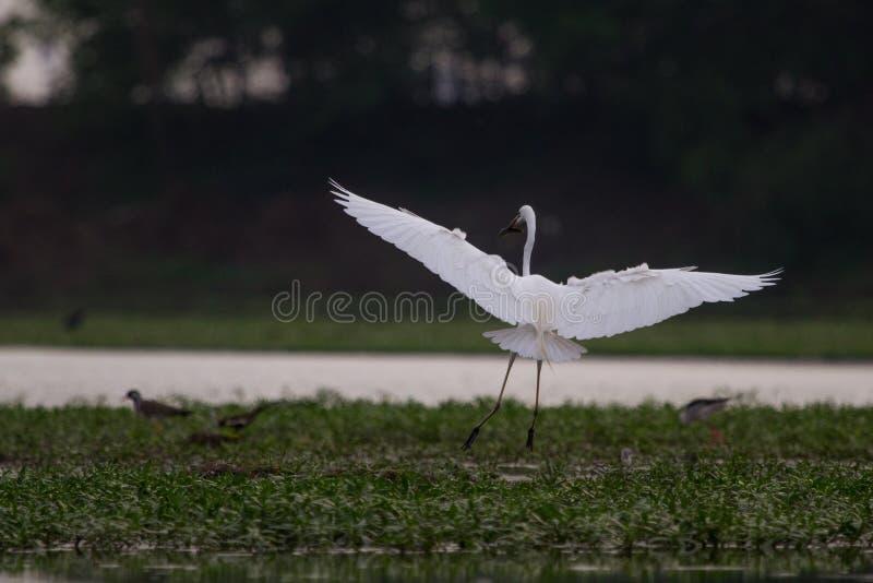 Landning av Egret royaltyfria foton