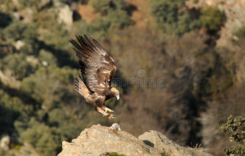 Landning för guld- örn på stenen arkivbilder