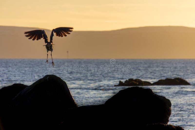 Landning för havsfågeln på vaggar på solnedgången arkivfoton