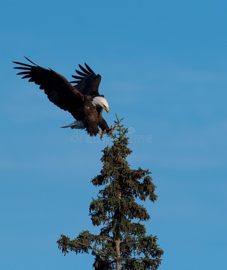 Landning för skallig örn i ett träd royaltyfria bilder