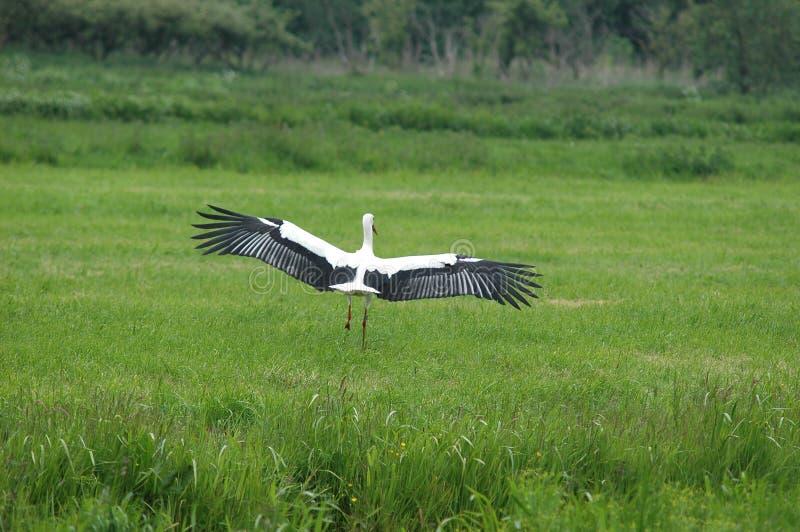 Landning för vit Stork i fält arkivbild