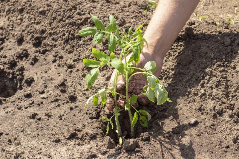 Landning i jordväxter av tomatgroddar fjädrar plantor för solig dag för sommar royaltyfri foto