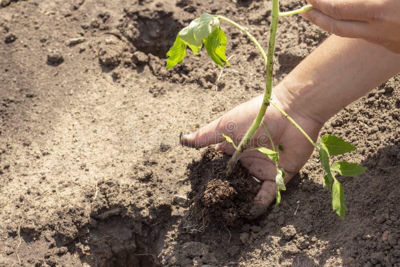 Landning i jordväxter av tomatgroddar fjädrar plantor för solig dag för sommar royaltyfri bild