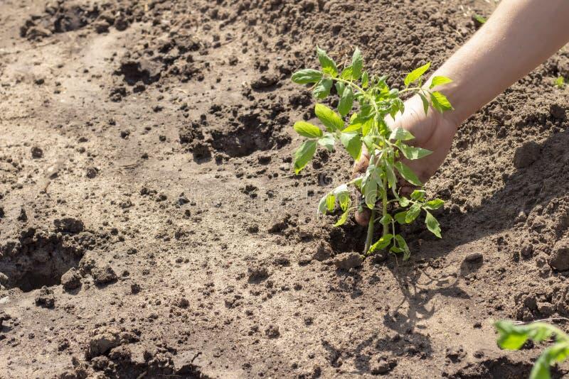 Landning i jordväxter av tomatgroddar fjädrar plantor för solig dag för sommar arkivfoto