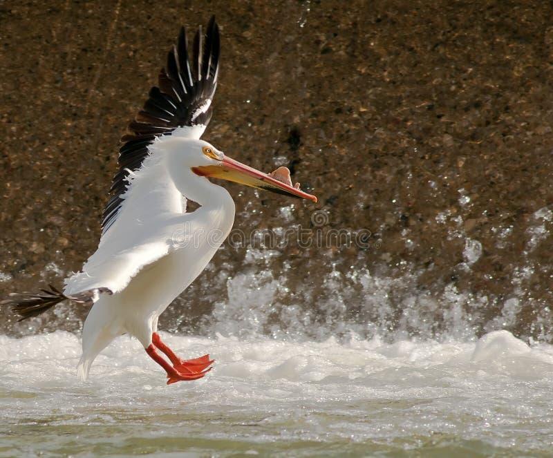 landningpelikan fotografering för bildbyråer