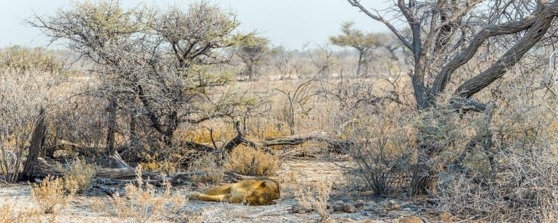 Landsape africain de désert avec une lionne de sommeil photo libre de droits