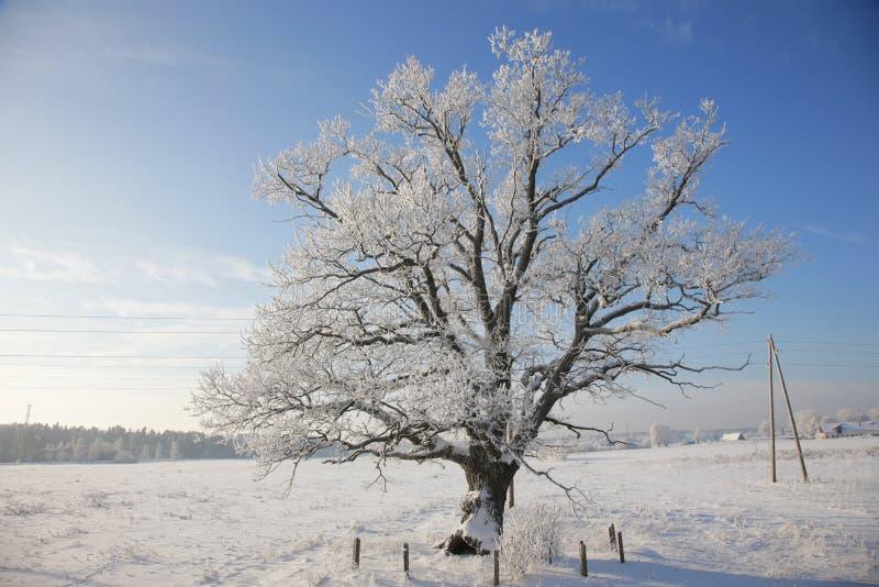 Landscale d'hiver, chêne solitaire dans le domaine couvert de neige images stock