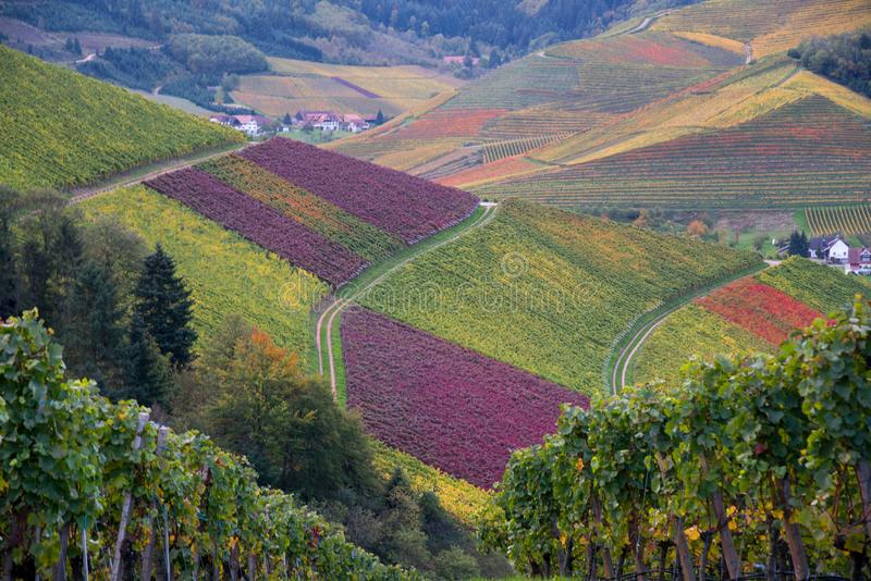 Landscape above Durbach in the black forest. Autumn in the vineyards of Durbach in the black forest in germany royalty free stock images