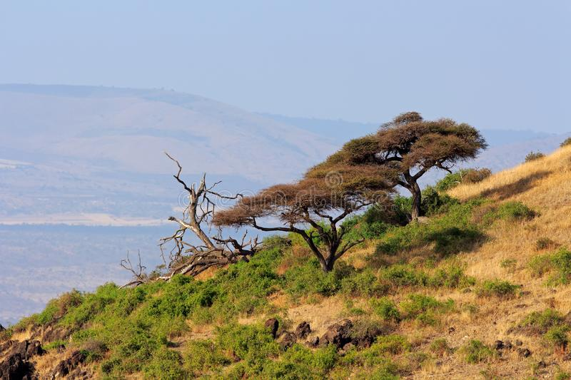Landscape with African thorn-trees - Amboseli stock images