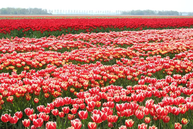Agricultural flowers and bulbs export industries, Noordoostpolder, Netherlands. Landscape with a farm for the export of tulips and bulbs in the Northeast Polder stock photos