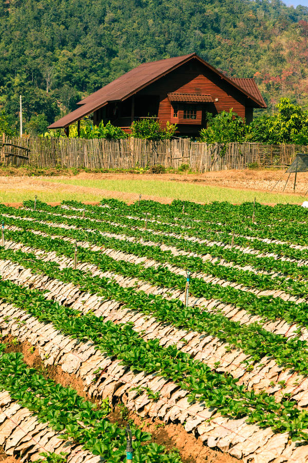 Landscape of agriculture organic field. royalty free stock photography