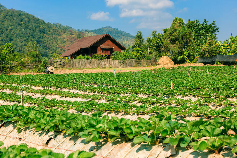 Landscape of agriculture organic field. stock photos