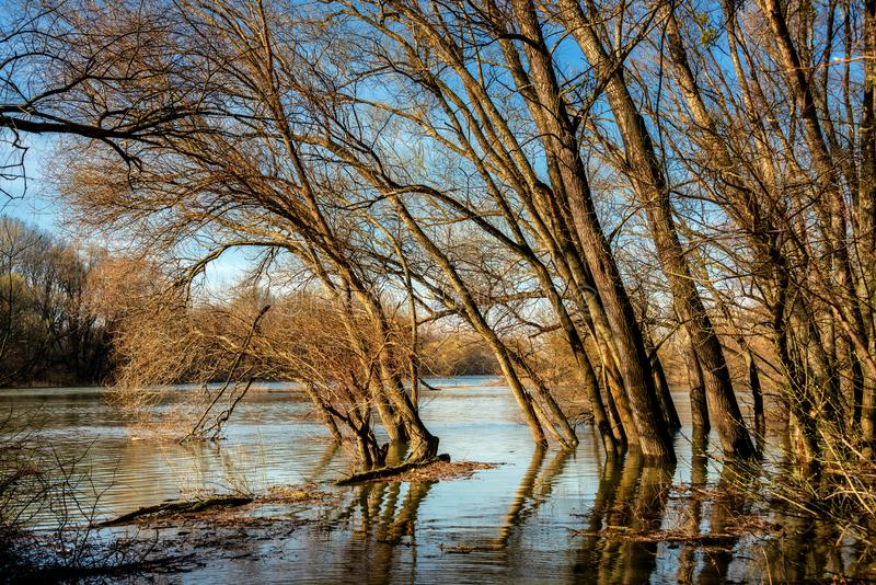 Landscape along morava river near devin. Old willow tree on Morava river basin, flood on meadows of the river Morava Protected landscape near Devin stock photos