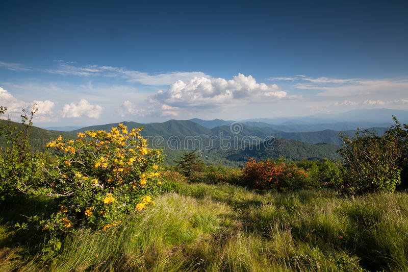 Landscape Appalachian Trail Blue Ridge Azalea. Yellow flame azalea (rhododendron calendulaceum) along the Appalachian Trail at Engine Gap Bald in the Roan royalty free stock photography