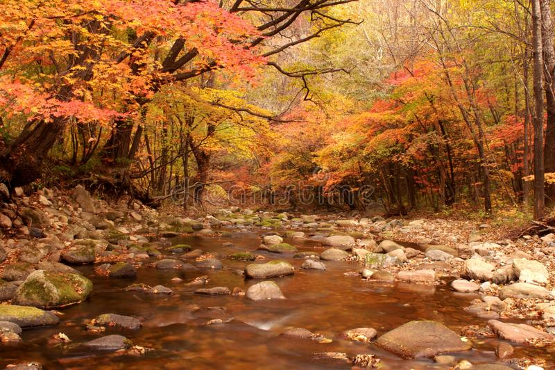 Landscape of autumn maple royalty free stock image