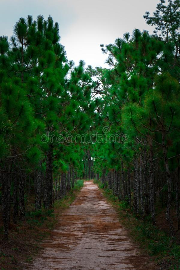 Landscape background of forest path, pine tree tunnel. Nature background of forest path along pine tree tunnel and sand road stock image