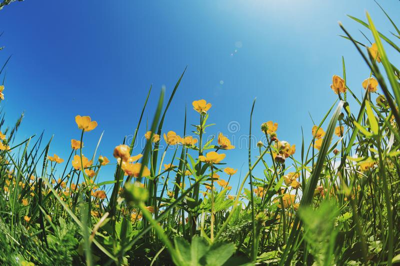 Landscape background with fresh yellow flowers on grassland royalty free stock photos