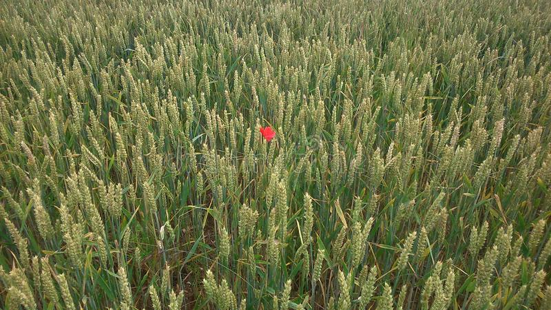 Landscape background of poppy in the middle of a wheat field. Landscape photo of wheat field near castor in east anglia, united kingdom. There is a poppy flower stock photo