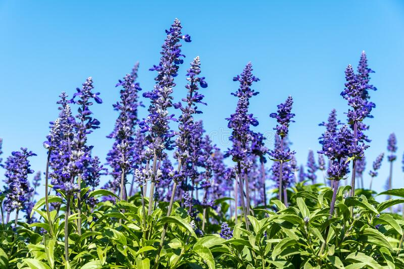 Landscape of Beautiful color purple lavender flowers blooming in field and blue sky royalty free stock photo