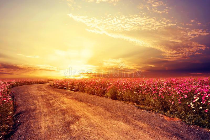 Landscape of beautiful cosmos flower field in sky sunset royalty free stock images