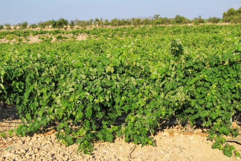 Landscape of vineyards in Jumilla, Murcia province. Landscape of beautiful green vineyards under blue sky in Jumilla, Murcia province, Spain vinery journey royalty free stock photos