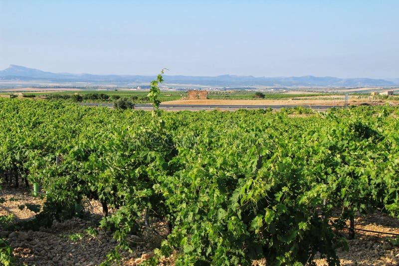 Landscape of vineyards in Jumilla, Murcia province. Landscape of beautiful green vineyards under blue sky in Jumilla, Murcia province, Spain vinery journey stock photography