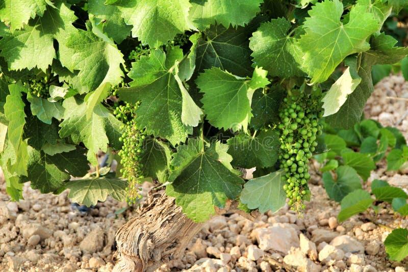 Landscape of vineyards in Jumilla, Murcia province. Landscape of beautiful green vineyards under blue sky in Jumilla, Murcia province, Spain vinery journey stock image