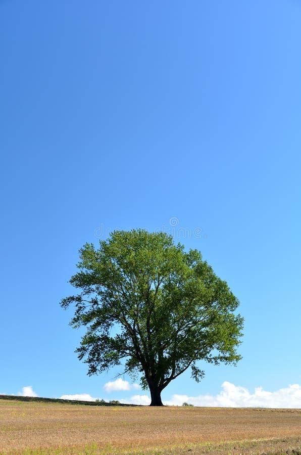 Landscape of Biei, Hokkaido. (Poplar tree). In Japan, it is called the tree of philosophy stock image