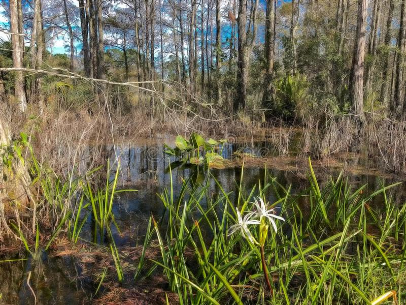 White swamp flower and cypress trees. Landscape of Big Cypress National Swamp in Florida royalty free stock images