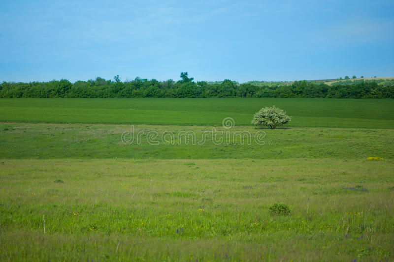 Landscape, a blooming lonely tree among fields, meadows and forests. Background. royalty free stock photography