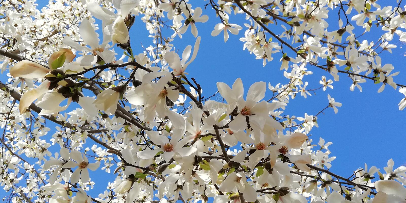 Landscape with blooming magnolia. A branch with beautiful flowers of magnolia against the blue sky stock photo