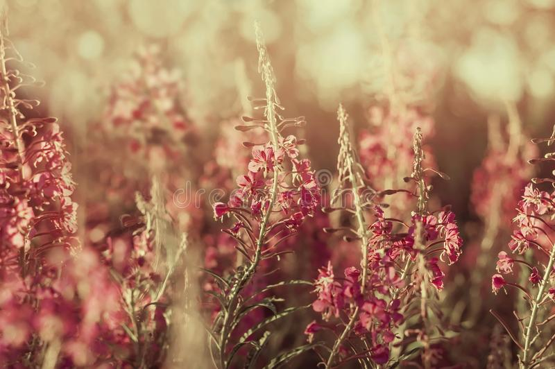 Blooming wild flowers willow-herb royalty free stock image