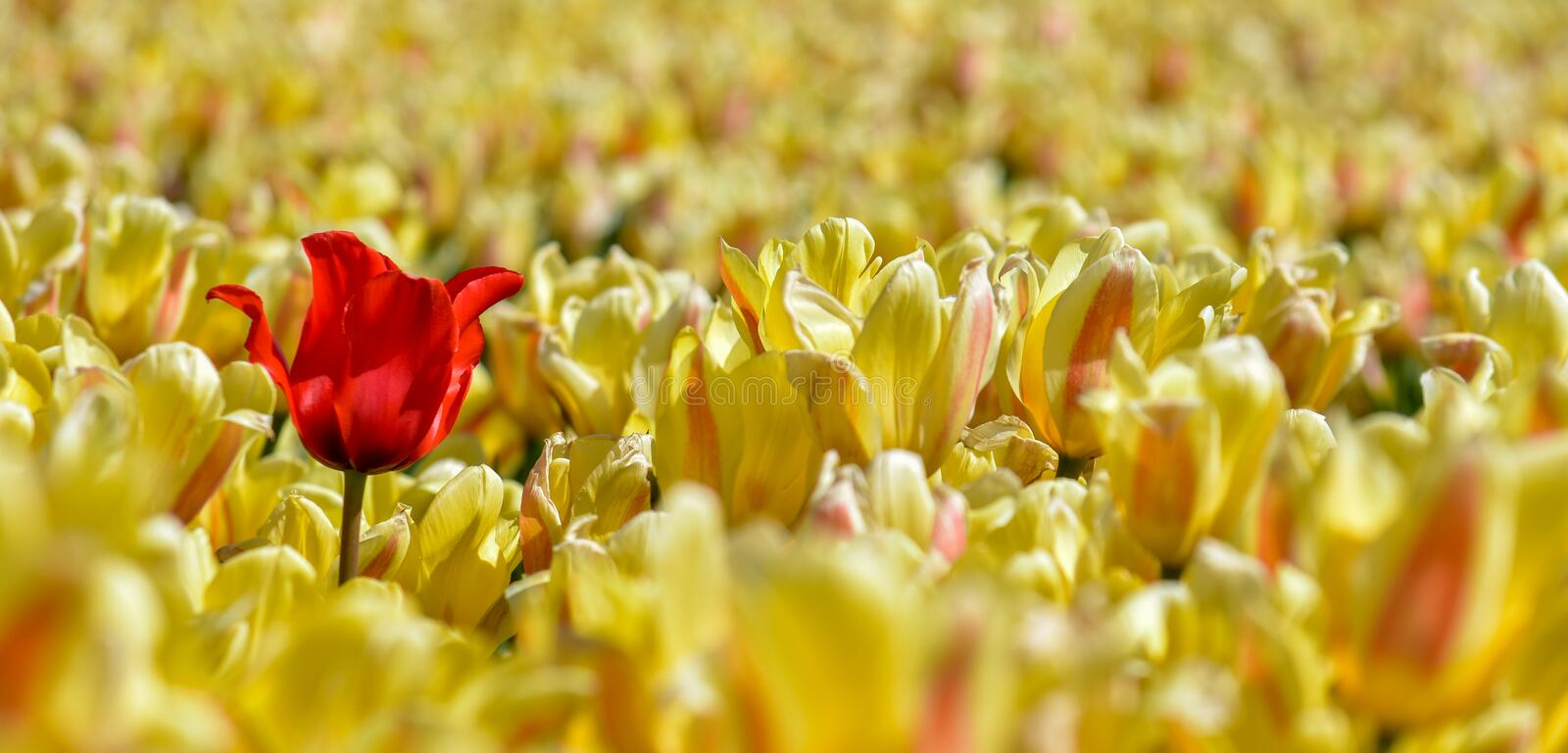 Landscape with bright red tulip in a field of yellow tulips stock photo