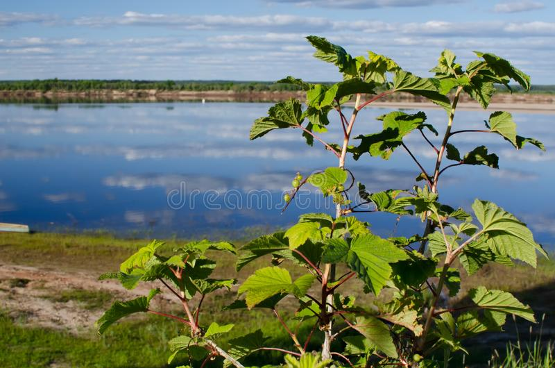 Bushes of red currant on the background of the river stock photography