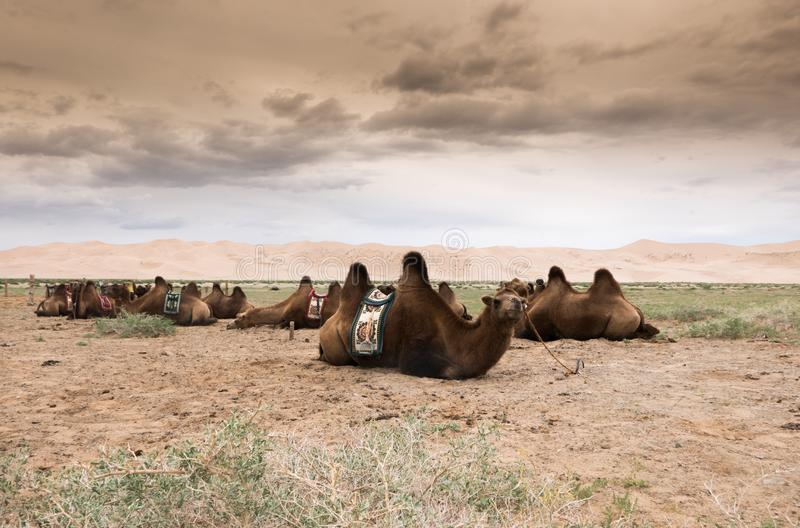 Landscape with camel in Mongolia desert of Gobi. Landscape with camel in Mongolia Gobi Desert stock image