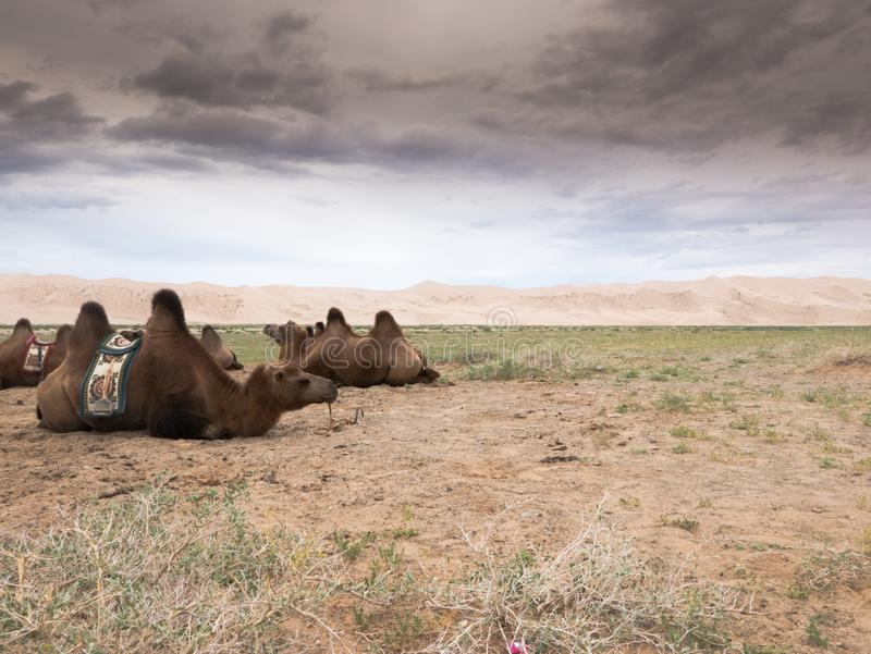 Landscape with camel in Mongolia desert of Gobi. Landscape with camel in Mongolia Gobi Desert stock photos