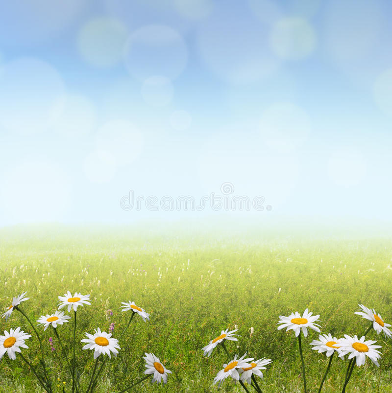 Landscape with camomile flowers royalty free stock photography