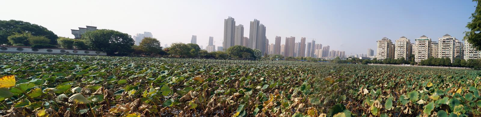 Panoramic view in Wuhan China. Landscape of the city of wuhan in China, view from the zoo near the city, bunch of plants growing at the shoe and big buildings in royalty free stock photo