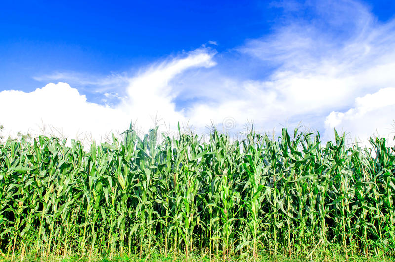 Landscape of corn field and wide corn farm with the sunset on the farm royalty free stock photography