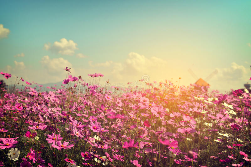 Landscape of cosmos flower field with sunlight stock images