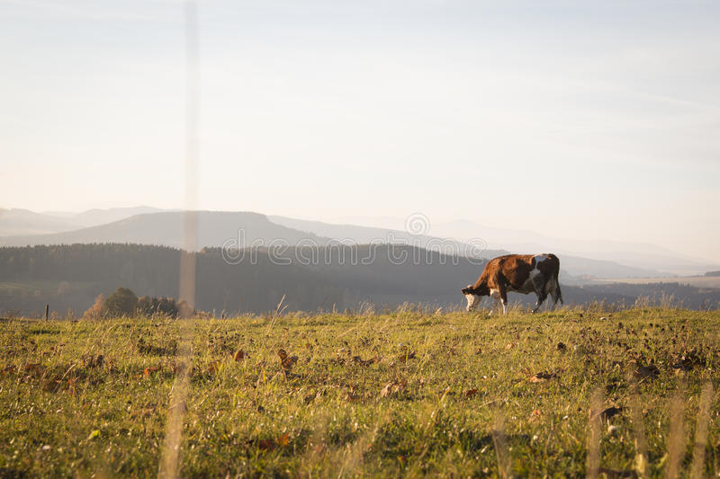 A landscape with a cow royalty free stock photography
